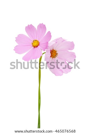 Pink colored cosmos flower. Isolated on white background. Macro.