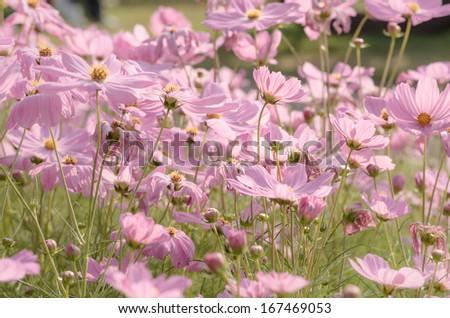 Pink Colored Mallow in Garden