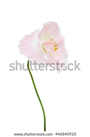 Pink colored poppy flowers isolated on white background.  Macro. Symbol of sleep, oblivion and imagination