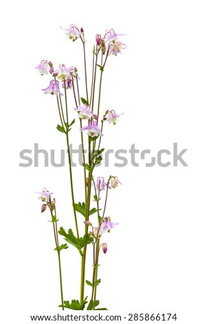 Pink Columbine (Aquilegia vulgaris) isolated with clipping path