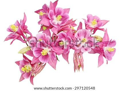 Pink Columbine Flower heads on a curve isolated over white background - stock photo