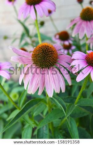 Pink coneflower - stock photo