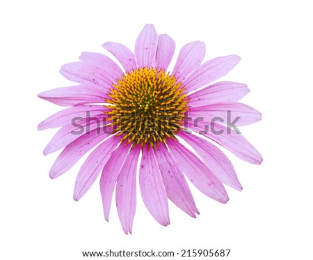 Pink coneflower head, isolated on white background, clipping path included