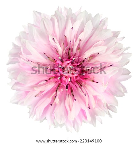Pink Cornflower Flower Isolated on White Background. Centaurea cyanus flowerhead wildflower on plain background - stock photo
