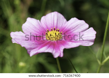Pink cosmo flower stock photo edit now shutterstock pink cosmo flower mightylinksfo