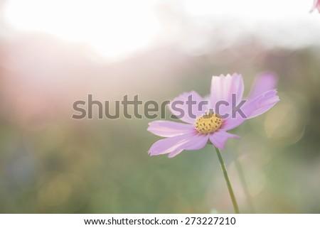 Pink cosmos - stock photo