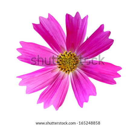 Pink Cosmos Bipinnatus flower head isolated on white background