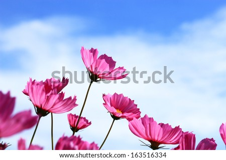 Pink Cosmos blooming  on  blue sky background