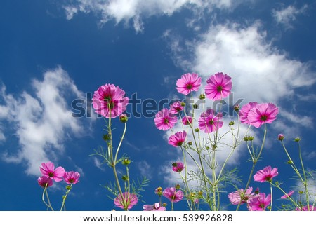 Pink cosmos flower and blue sky.