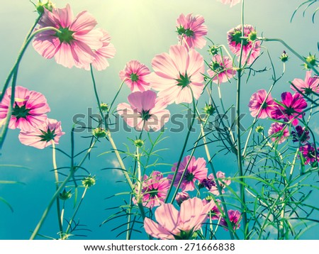 pink cosmos flower field with sunlight - stock photo