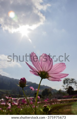 Pink cosmos flower on the blur background