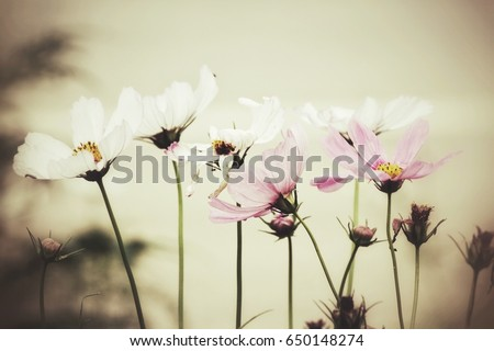 Pink cosmos flowers