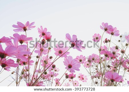 Pink Cosmos flowers isolated on white. - stock photo