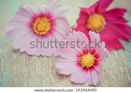 Pink cosmos flowers on a wood background - stock photo