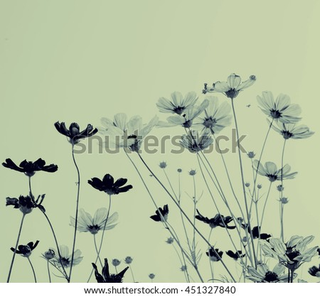 Pink cosmos flowers with sky, in morning - stock photo