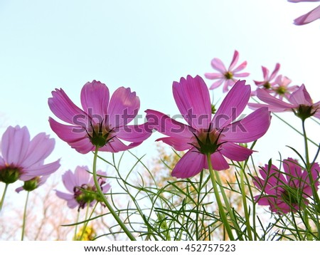 pink cosmos in blue sky