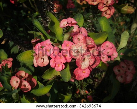 pink Crown of thorns or Christ thorn flowers