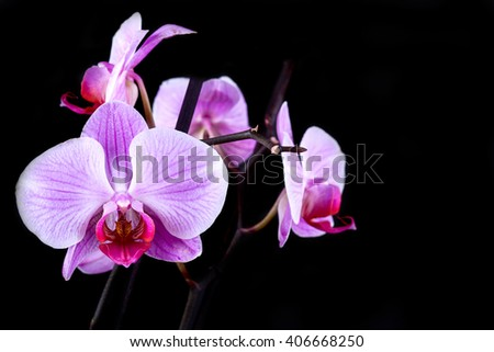 Pink cultivated orchid isolated over black background - stock photo