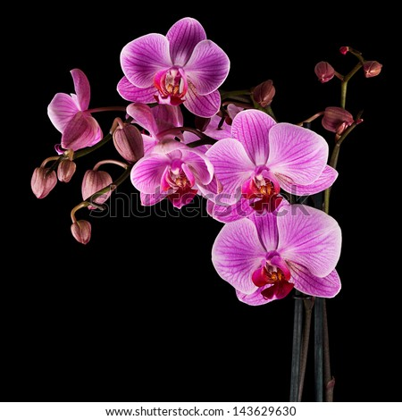 Pink cultivated orchid isolated over black background - ideal greeting card - stock photo