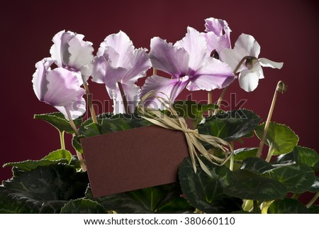 Pink cyclamen bloom and green leaf. Blooming floral pot. Red color greeting delivery card middle of flower. Red background - stock photo