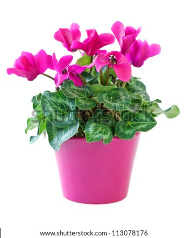 Pink cyclamen flower pot isolated on stock photo royalty free pink cyclamen in a flower pot isolated on a white background mightylinksfo