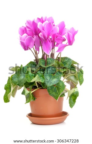 Pink cyclamen in a orange pot isolated on white background - stock photo