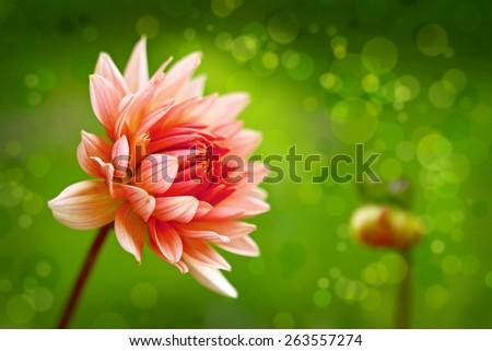 Pink dahlia  flower  in the summer garden. - stock photo