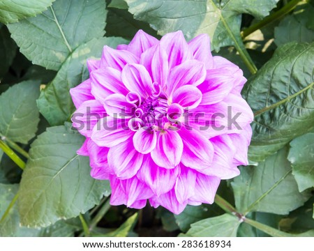 Pink dahlia flower is blooming in the botanical garden. - stock photo
