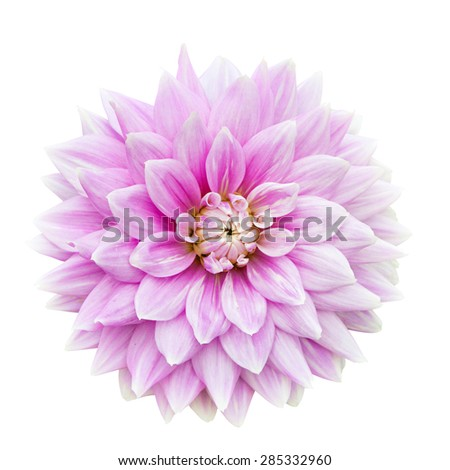 Pink Dahlia flower isolated on a white background. - stock photo