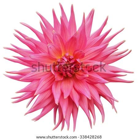 Pink Dahlia flower Isolated on White Background. Pink dahlia Flower