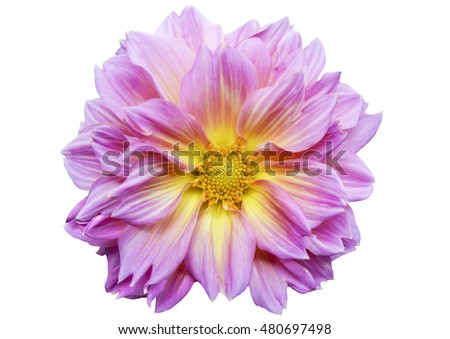 Pink dahlia flower on white background