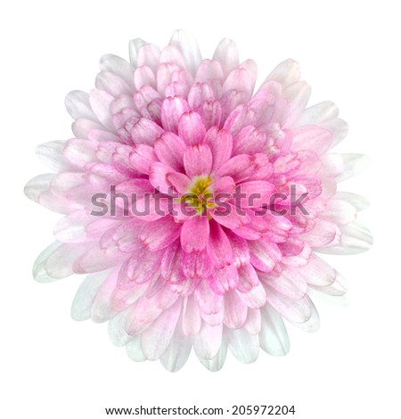 Pink Dahlia Flower - Pink white petals with isolated on White Background - stock photo