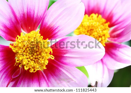 Pink Dahlia Flower with yellow center macro frame