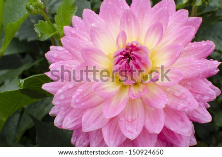 Pink Dahlia in nature - stock photo