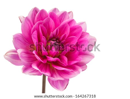 pink dahlia isolated on white background - stock photo