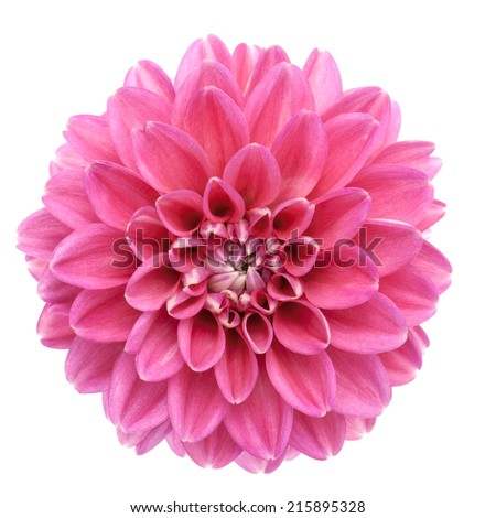 Pink dahlia isolated on white background. - stock photo