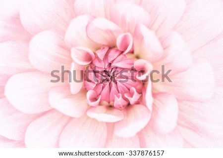 Pink dahlia petals macro, floral abstract background. Shallow DOF, high key.