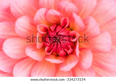 Pink dahlia petals macro, floral abstract background. Shallow DOF, outdoor shot. - stock photo