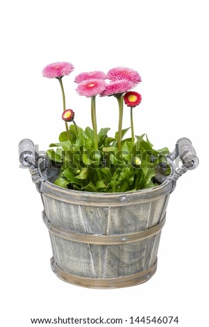 Pink daisies in wooden pot isolated on white background - stock photo