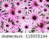 Pink Daisy Background - stock photo