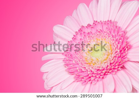 Pink daisy flower background