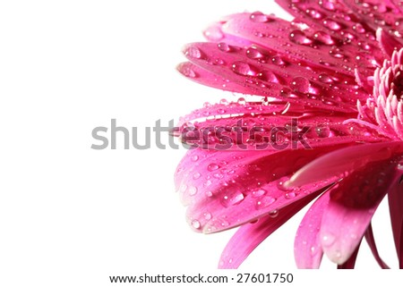 Pink daisy flower with dew isolated over white background