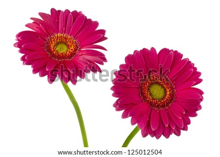 Pink daisy flowers on a white background
