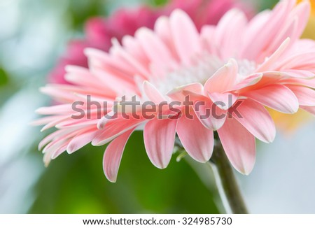 Pink daisy gerbera flower background - stock photo