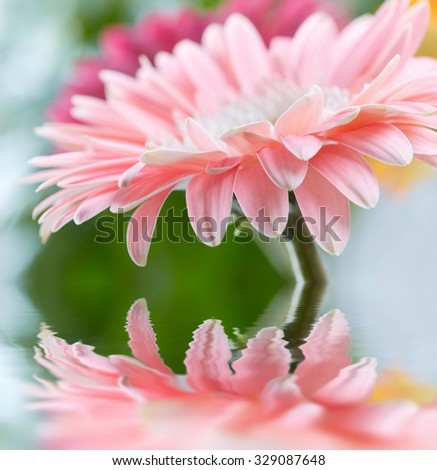 Pink daisy gerbera reflicting in the water - stock photo
