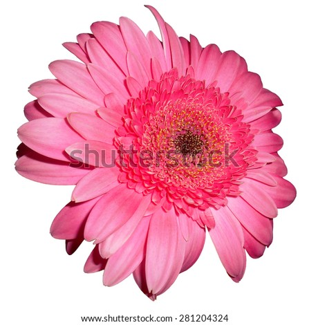Pink daisy, isolated