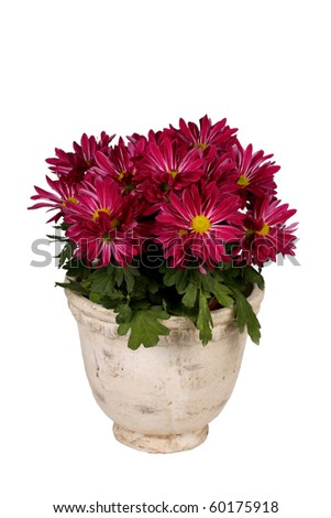 Pink daisy plant in white pot - stock photo