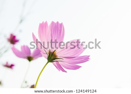 pink daisy with bright sky