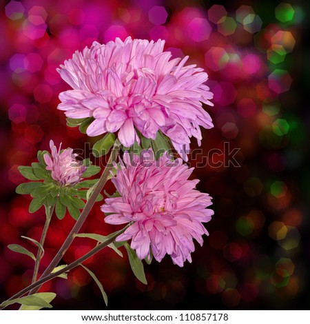 Pink decorative autumn flowers - stock photo