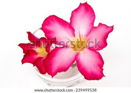 Pink desert rose blooming  - stock photo